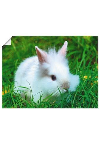 Artland Wandbild »Weisses Zwergkaninchen Baby« kaufen