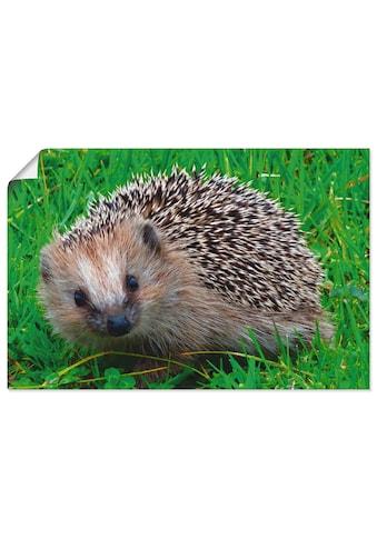 Artland Wandbild »Igel Blick«, Wildtiere, (1 St.), in vielen Grössen & Produktarten -... kaufen